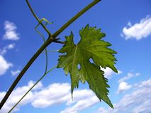 Leaf vine. With background sky and clouds stock image