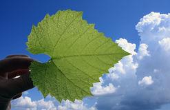 Leaf of vine on the blue sky. With clouds Stock Photo