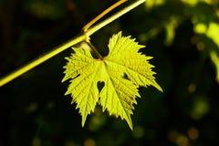A leaf of vine lightened up by sun. Vine leaf in the garden lightened up by sun lights, center composition, closeup stock photos