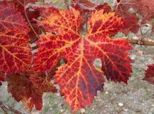 Leaf of a vine tree. Flushed autumn leaf of a vine tree Stock Image