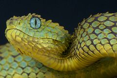 Leaf viper / Atheris squamigera. The leaf viper is a large scales spectacular tree snake from Central Africa Stock Image