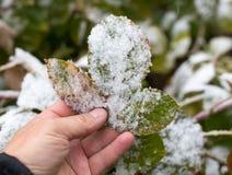Leaf w śniegu w ręce na naturze Zdjęcie Stock