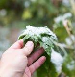 Leaf w śniegu w ręce na naturze Obrazy Stock