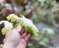 Leaf w śniegu w ręce na naturze Obraz Stock