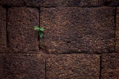 Leaf grow out of brick wall. Leaf from the wall Royalty Free Stock Photo
