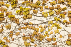 Leaf wall background. Royalty Free Stock Photography