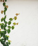 Leaf on the wall Royalty Free Stock Photography