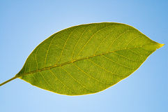 Leaf of walnut Royalty Free Stock Images
