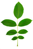 Leaf of walnut. On a white background royalty free stock photos