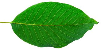 Leaf of walnut. On a white background royalty free stock images
