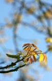 Leaf of walnut tree Stock Photo