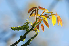 Leaf of walnut tree. On blue sky Stock Image