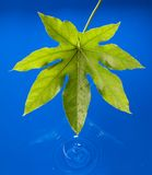 Leaf water Stock Photography