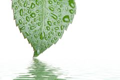Leaf on water. Green leaf hanging down above water Royalty Free Stock Photo