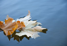 Leaf on the water Royalty Free Stock Photography
