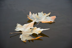 Leaf on the water Royalty Free Stock Images