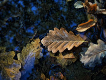Leaf on water. Autumn season leaf fall in water royalty free stock photo