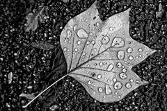 Leaf, Water, Black And White, Monochrome Photography Stock Photography