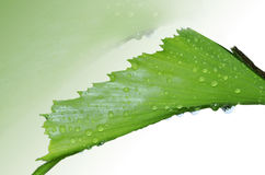 LEAF IN WATER DROPLET Stock Images