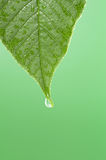 Leaf with water droplet at the tip. Green leaf with water droplet at the tip Royalty Free Stock Photography