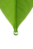 Leaf with water droplets Royalty Free Stock Image