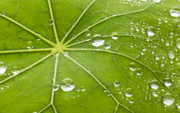 Leaf Water Droplets Background. Water droplets on a green leaf background Stock Images