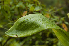 Leaf with Water Droplets Royalty Free Stock Images