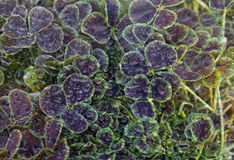 Leaf Water Droplets. Purple and Green Leaves with Water Droplets Abstract Stock Photos