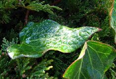 leaf with water drops 1 Royalty Free Stock Photography