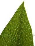 Leaf with water drops. Leaves with leaf veins and water drops Royalty Free Stock Photo