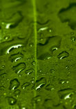 Leaf and water drops. Macro of a leaf after the rain Stock Images