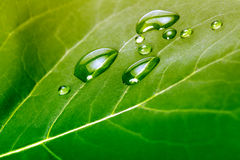 Leaf with water drops Stock Photo