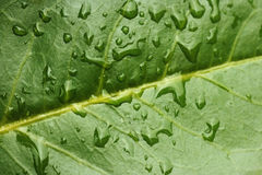 Leaf with water drops. Macro of evergreen leaf with water drops Royalty Free Stock Image