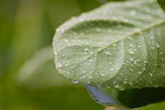 Leaf with water drops Stock Photography
