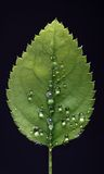 Leaf with water drops Royalty Free Stock Photos