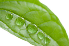 Leaf with water drops. Isolated Royalty Free Stock Image