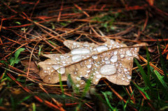 Leaf with water drops in autumn Royalty Free Stock Photo