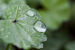 Leaf with water drops. A close up of a green leaf with water drops royalty free stock images