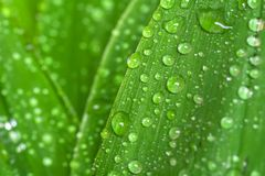Leaf with water drops. Fresh leaf of lily of the valley with dew Stock Photos