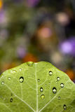 Leaf with water drops Royalty Free Stock Photography