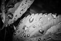 Leaf with water drops Stock Images