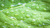 Leaf with water drops. Royalty Free Stock Image