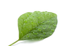 Leaf with water drops isolated. Green fresh leaf with water drops isolated Stock Images