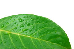 Leaf with water drops after rain. Green leaf with water drops after summer rain isolated Royalty Free Stock Photo