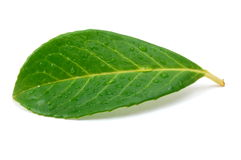 Leaf with water drops after rain. Green leaf with water drops after summer rain isolated Royalty Free Stock Images