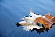 Leaf on the water Royalty Free Stock Photo