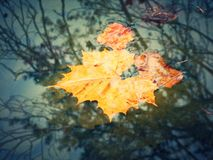 Leaf in the water. Leaf floating on top of the lake surface in the fall of October Stock Photos