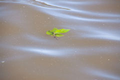 Leaf on Water Royalty Free Stock Images