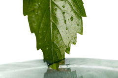 Leaf and water. Stock Photography
