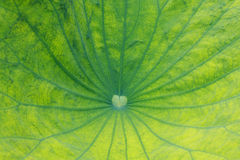 Leaf of water lily, lotus Stock Images